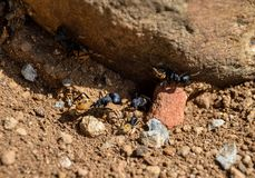 Balbyter Ants. These large sugar ants are common residents in arid areas of South Africa Royalty Free Stock Photo