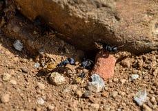 Balbyter Ants Stock Images