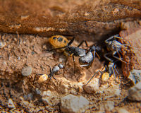 Balbyter Ants Royalty Free Stock Photos