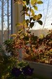 Balc?o urbano pequeno do jardim com cobaea e pet?nia na luz do alvorecer Manh? em outubro imagens de stock royalty free