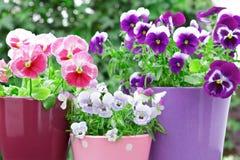 Balcão vermelho lilás roxo dos potenciômetros dos pansies fotos de stock