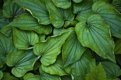 Balcanica de dioscorea, Dioscoreaceae Photographie stock