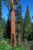 Balch小河公园美国加州红杉 库存图片