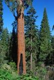 Balch Creek Park Sequoia Stock Image