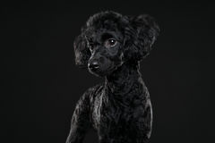Balck长卷毛狗画象在黑背景中 免版税库存照片
