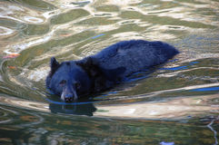 Balck Bear swimming. Picture of a black bear swimming towards the photographer Stock Images