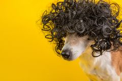Balck curly hair. Dog in the wig. Dreamy face. Yellow background stock photo