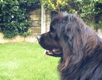 Balck dog Royalty Free Stock Image