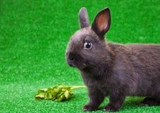 Balck domestic rabbit Stock Image