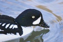 Balck duck Stock Photos
