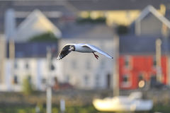 Balck sea Gull Royalty Free Stock Photo