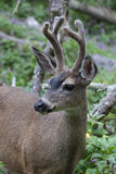 Balck-tailed Deer _MG_1815a Stock Images