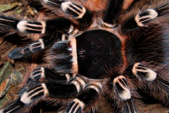 Balck tarantula Stock Photo