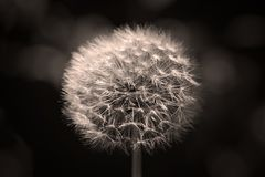 Beautiful white dandelion. Balck and white version of dandelion flower after flowering on a dark background in close-up royalty free stock photo