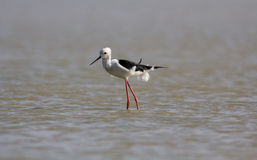 Blowing feathers of Black Winged Stilt Stock Image
