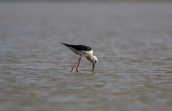 Black Winged Stilt in Search Royalty Free Stock Photography