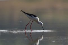 Black Winged Stilt Wading Stock Image