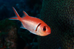 balckbar jacobus myripristissoldierfish Arkivfoton