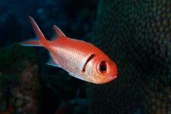balckbar myripristis του Jacobus soldierfish Στοκ Φωτογραφίες