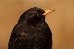 balckbird Royaltyfria Foton