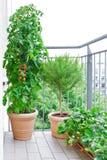 Balcone dei vasi delle piante di fragola dei rosmarini del pomodoro Fotografie Stock Libere da Diritti