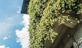Balcony covered with White Hyacinth `Carnegie` Hyacinthus flowers which emit a lovely sweet fragrance.  stock photo