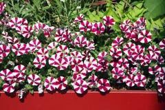 Balcony flowers petunia royalty free stock photo