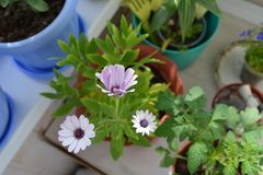 Balcony garden. Blooming osteospermum, tomato and lobelia in flower pots. Potted plants in home greening stock images
