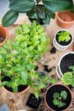 Balcony garden. Natural plants in pots, green garden on a balcony. Urban gardening, home planting stock images