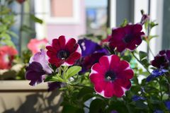 Balcony garden with potted petunia flowers. Home greening. With common plants royalty free stock photography