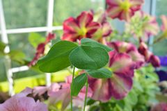 Balcony greening with cultivated and wild plants. Clover leaves. On the background of flowering petunias stock photo