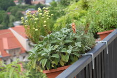 Balcony herbs garden in to the pots. The balcony pots and containers can be grown herbs and spices instead of flowers. You'll have popular herbal plants are Royalty Free Stock Photo