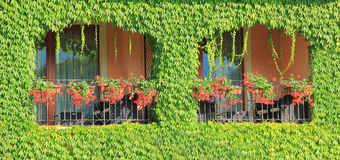 Balcony overgrown with ivy leaves and two windows with flowers Royalty Free Stock Photos