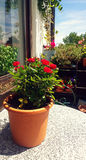 Balcony table with rose plant in pot Royalty Free Stock Images