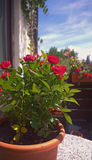 Balcony table with rose plant in pot. Balcony with roses in pot royalty free stock photo