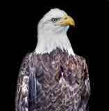 Bald American Eagle on black backround