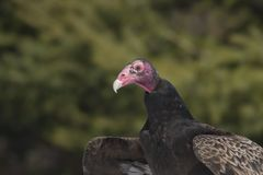 Bald is beautiful... Close-up of a Wild turkey vulture  Cathartes aura Royalty Free Stock Image