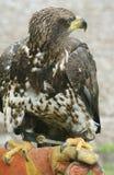 bald canada eagle 免版税图库摄影