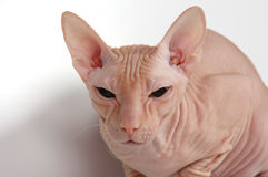 Bald cat Stock Photo