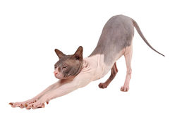 Bald cat Royalty Free Stock Image