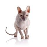 Bald cat. Royalty Free Stock Photos