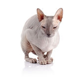 Bald cat. Stock Images