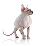 Bald cat. Stock Photo