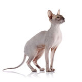 Bald cat. Royalty Free Stock Photography