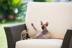 Bald cat breed Sphynx raised his paw sitting in the chair. The bald cat of the Sphynx breed plays in a beige chair with a small toy dinosaur and lifts its hind Stock Photography