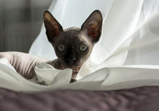 Bald cat, kitten sitting on tulle Royalty Free Stock Images