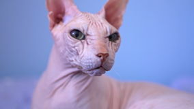 Bald cat stock footage