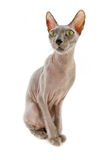 Bald cat Sphinx Royalty Free Stock Photo