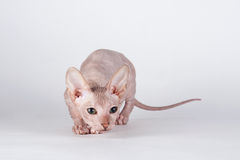 Bald cat- Sphinx Royalty Free Stock Photo