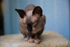 Bald cat sphinx blue eyes sitting indoor purebreed Stock Photography